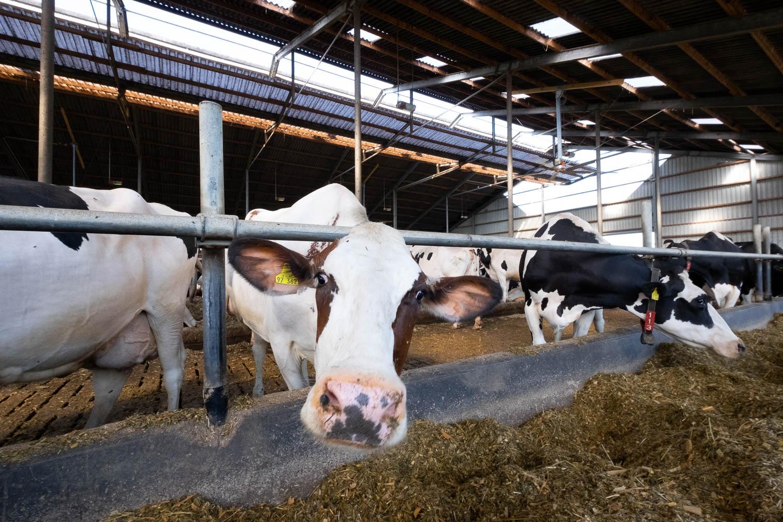 Sivani-Boxall-Germany-cow-farm